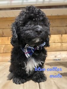 Miniature Poodle Puppies | Kijiji in Alberta  - Buy, Sell