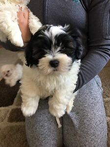 Shihtzu Male black and white!