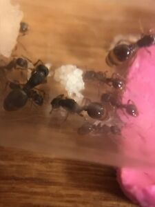 Ant colony- leptothorax muscorum 3 queens, workers and brood