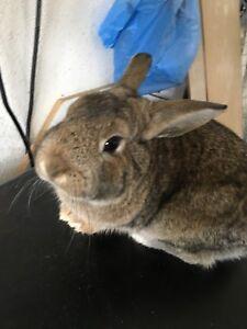 Selling bunny need him Gina ASAP