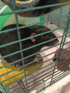 Rats and cage