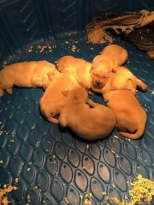 Purebred Golden Retrievers