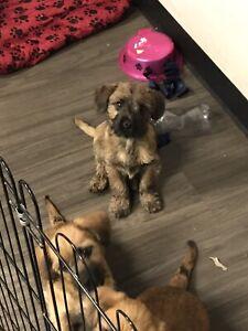Cairn Terrier X Puppies