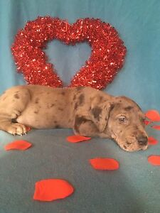 Great Dane puppies ready for new homes March 8th!