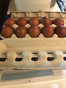 Fertile hatching eggs (Black Copper Maran)