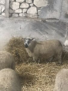 Quality Lamb meat for sale