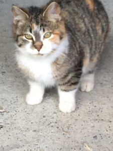 Found Young Calico cat
