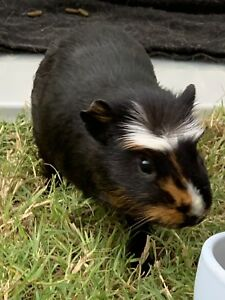 Baby Blackie the Guinea pig