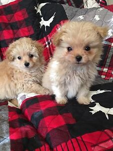 Adorable Pom poodle cross puppies