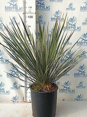 Yucca elata 60 cm, Maceta 15 litros