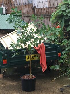 Lime tree for sale