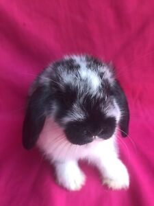 ♥♥♥♥ Purebred Minilop Baby Rabbits Vaccinated  ♥♥♥♥ Londonderry Penrith Area Preview