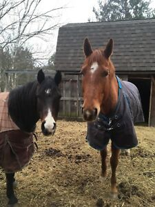 Looking for a trail gelding