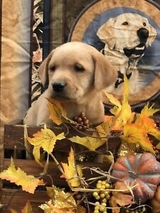 PUREBRED LABRADOR PUPPIES FOR SALE