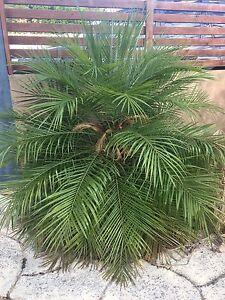 Miniature Date Palm Hilton Fremantle Area Preview