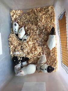 Pet rats Chirnside Park Yarra Ranges Preview