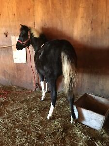 Yearling pony