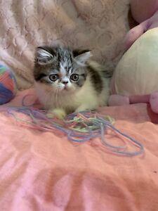 Exotic Girl Kitten