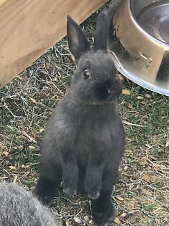 🐰 Purebred Netherland Dwarf Rabbits 2 avail now 🐰