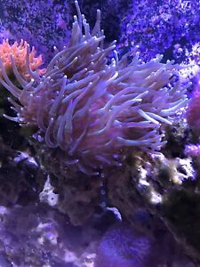 Large anemone on a 10lbs rock