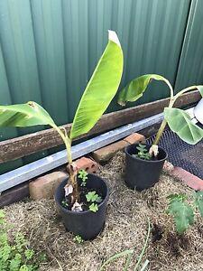 Baby banana treee Panania Bankstown Area Preview
