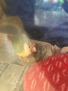 Pinneapple conure chick