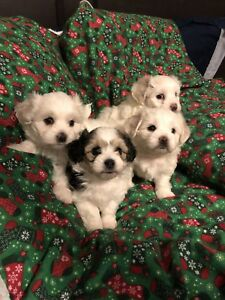 Santa's little helpers.    (TWO OF THREE WHITE PUPPYS ARE SOLD)