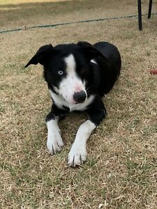 Short Haired Border Collies