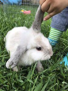 Lop ear bunny Hurstville Hurstville Area Preview