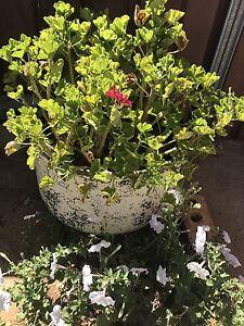 Potted Plant. Concrete pot Dubbo Dubbo Area Preview