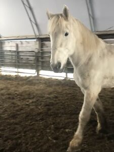 Draft horses for sale