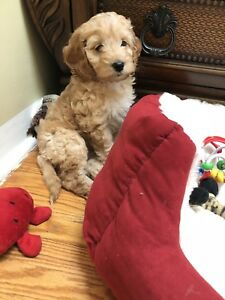 Beautiful Red/Apricot Cockapoo puppies