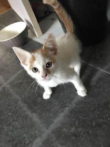 Little male kitten 12 weeks old
