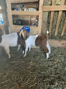 Cae | Adopt or Rehome Livestock in Ontario | Kijiji Classifieds