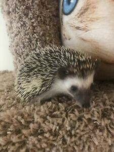 Beautiful and very sweet baby Pygmy Hedgehogs!
