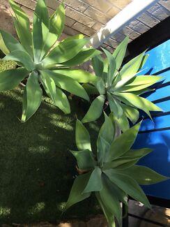 Large agave plants