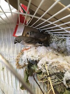 4 Zebra baby finches and one male (adult)