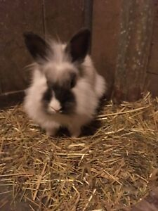 Lionhead bunny (female) possibly pregnant