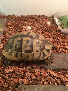 Male Herman tortoise