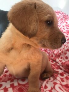 Beagle/ golden retriever mix ONLY 2 LEFT!!