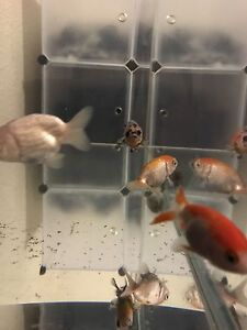 Ranchu for sale 6for $50 Noble Park Greater Dandenong Preview