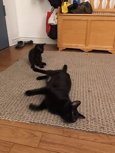 black young female cat for free
