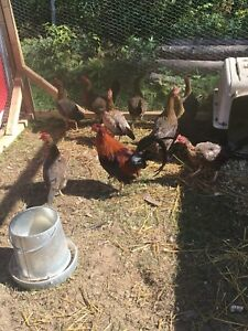 Turkeys, Chickens and ducks for sale.