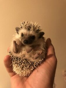 Sweetest baby Pygmy Hedgehogs ! Make adorable pets!