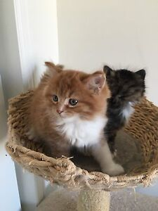 Gorgeous Maine Coon x Siberian kittens