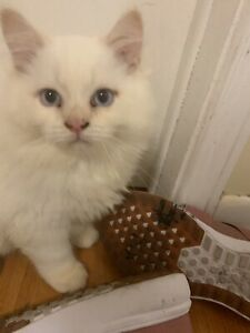 Flame Point Kitten | Kijiji in Ontario  - Buy, Sell & Save