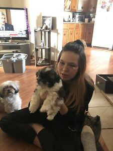 3 Shi Tzu puppies for sale