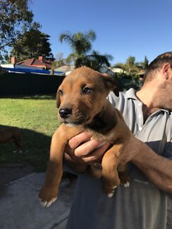 Staffy x pups for sale