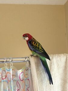 WTB DNA Sexed Female Eastern Rosella