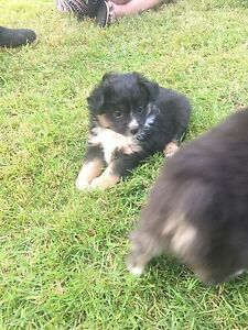 REGISTERED TOY AUSSIES